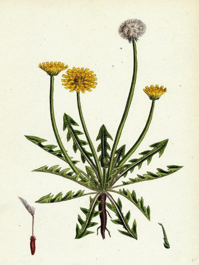 Taraxacum Officinale Var. Erythrospermum Common Dandelion Var. B--Giclee Print
