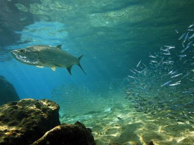 Tarpon, Megalops Atlanticus, Hunting for Prey Near Reef Silversides-George Grall-Photographic Print