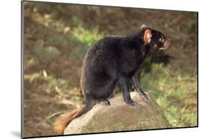 Tasmanian Devil Perched on Rock Enjoying Sun