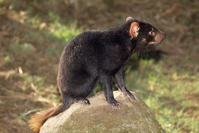 Tasmanian Devil Perched on Rock Enjoying Sun--Photographic Print