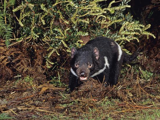 Tasmanian Devil (Sarchophilus Harrisii), Tasmania, Australia-Dave Watts-Photographic Print