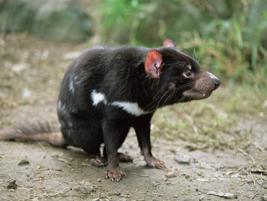 Tasmanian Devil, Sarcophilus Harrisii, in Captivity, Australia, Pacific-Ann & Steve Toon-Photographic Print