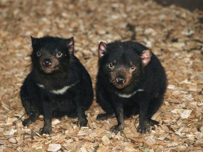 Tasmanian Devils, Tasmania, Australia-Joe Stancampiano-Photographic Print