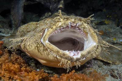 Tasseled Wobbegong Shark (Eucrossorhinus Dasypogon) Yawning-Alex Mustard-Photographic Print
