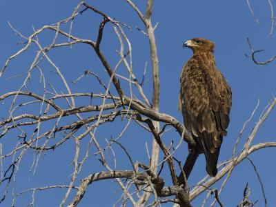 Tawny Eagle (Aquila Rapax), Kgalagadi Transfrontier Park, Northern Cape, South Africa, Africa-Ann & Steve Toon-Photographic Print