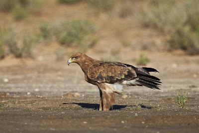 Tawny Eagle (Aquila Rapax), Kgalagadi Transfrontier Park-James Hager-Photographic Print