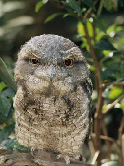 Tawny Frogmouth Bird-George Grall-Photographic Print
