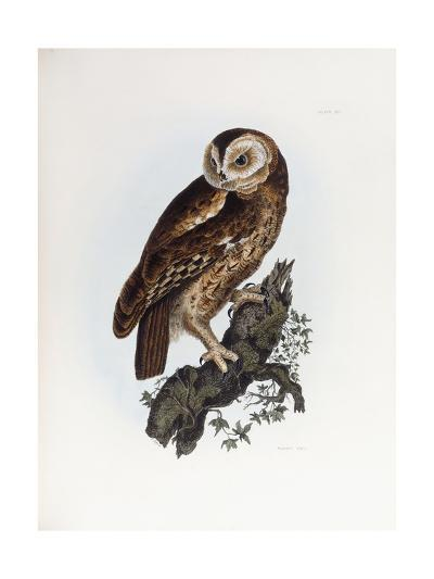 Tawny Owl, 1841-Prideaux John Selby-Giclee Print