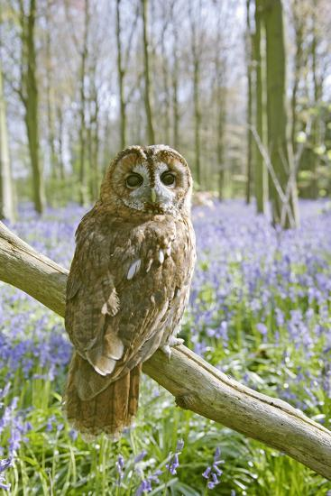 Tawny Owl in Bluebell Wood--Photographic Print