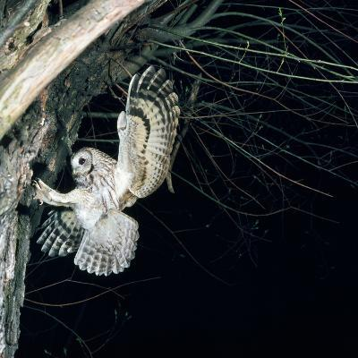 Tawny Owl in Flight, Towards Nest--Photographic Print