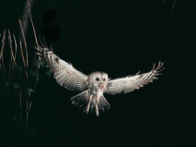 Tawny Owl in the Night, Flghting Whit Prey Field or Wood Mouse (Apodemus Sylvaticus)-Giovanni Giuseppe Bellani-Photographic Print
