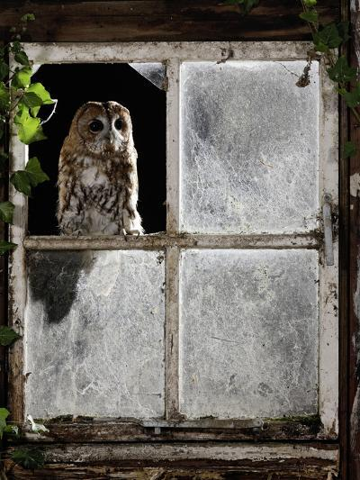 Tawny Owl Looking Through Shed Window--Photographic Print