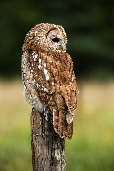 Tawny Owl on Fence Post against a Dark Background of Blurred Trees/Tawny Owl/Tawny Owl- davemhuntphotography-Photographic Print