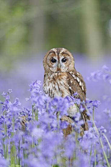 Tawny Owl on Stump in Bluebell Wood--Photographic Print