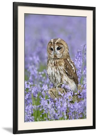 Tawny Owl on Tree Stump in Bluebell Wood--Framed Photographic Print