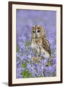 Tawny Owl on Tree Stump in Bluebell Wood