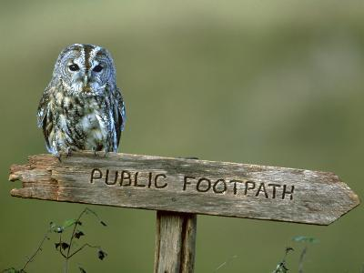 Tawny Owl, Perched on Public Footpath Sign, Scotland-Jonathan Gale-Photographic Print