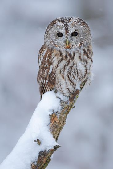 Tawny Owl Snow Covered in Snowfall during Winter. Wildlife Scene from Nature. Snow Cover Tree with-Ondrej Prosicky-Photographic Print