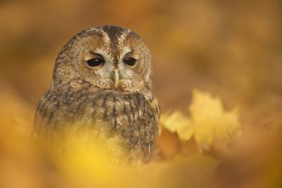 https://imgc.artprintimages.com/img/print/tawny-owl-strix-aluco-among-autumn-foliage-united-kingdom-europe_u-l-q1brvs50.jpg?p=0