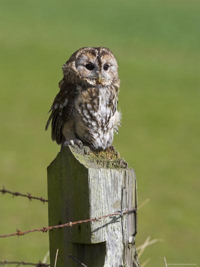 Tawny Owl (Strix Aluco), Captive, Perched, United Kingdom, Europe-Ann & Steve Toon-Photographic Print