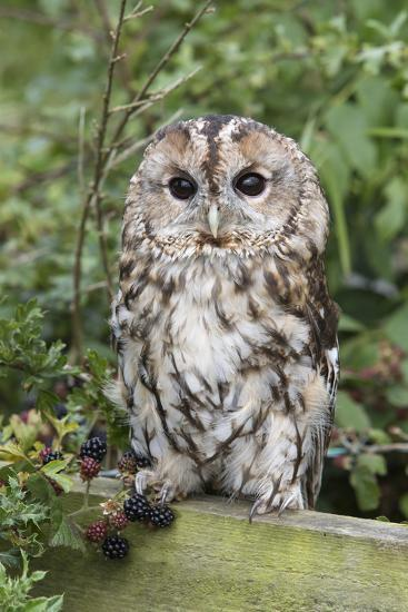 Tawny Owl (Strix Aluco), Captive, United Kingdom, Europe-Ann and Steve Toon-Photographic Print
