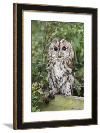 Tawny Owl (Strix Aluco), Captive, United Kingdom, Europe-Ann and Steve Toon-Framed Photographic Print