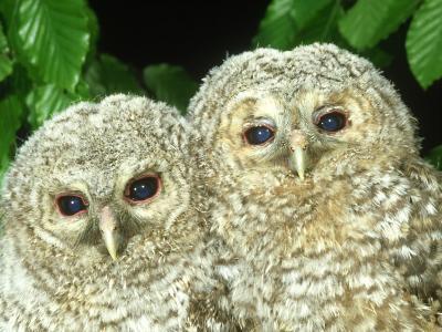 Tawny Owl, Strix Aluco Chicks, Close-up Portraits W. Yorks, UK-Mark Hamblin-Photographic Print