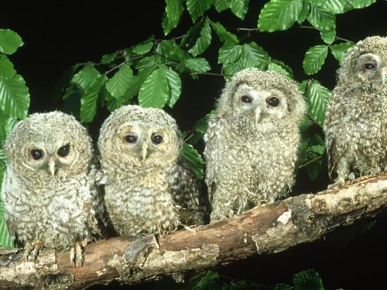Tawny Owl, Strix Aluco Three Owlets Perched on Branch, W. Yorks-Mark Hamblin-Photographic Print