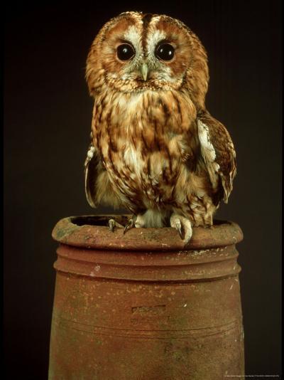 Tawny Owl, UK-Les Stocker-Photographic Print