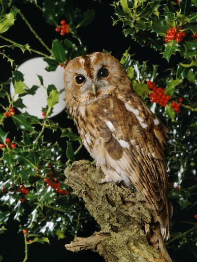 Tawny Owl with Full Moon and Holly--Photographic Print