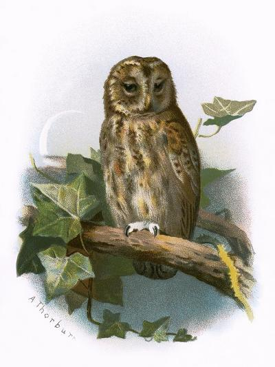 Tawny Owl-English-Giclee Print
