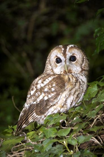 Tawny Owl-Colin Varndell-Photographic Print
