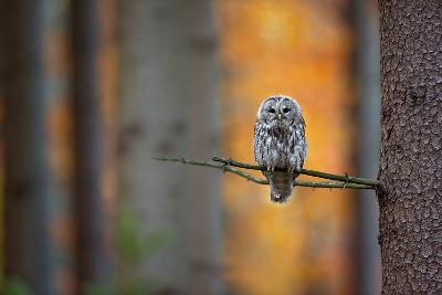 Tawny Owl-Milan Zygmunt-Photographic Print