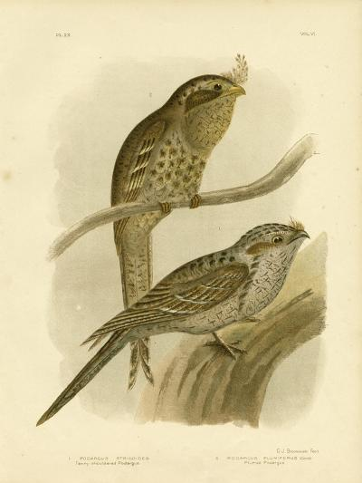 Tawny-Shouldered Podargus or Tawny Frogmouth, 1891-Gracius Broinowski-Giclee Print
