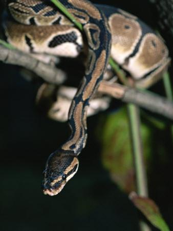 A Ball Python in a Tree by Taylor S^ Kennedy