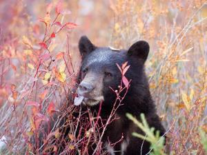 A Black Bear Eats a Blueberry While Adding Weight for Hibernation by Taylor S. Kennedy