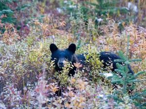 A Black Bear Looks Out of a Field While Hunting for Food by Taylor S. Kennedy