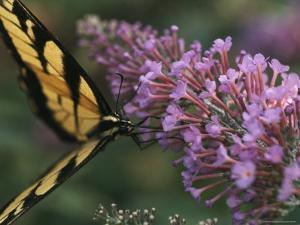 A Butterfly Sips Nectar from a Flower with Its Long Proboscis by Taylor S. Kennedy