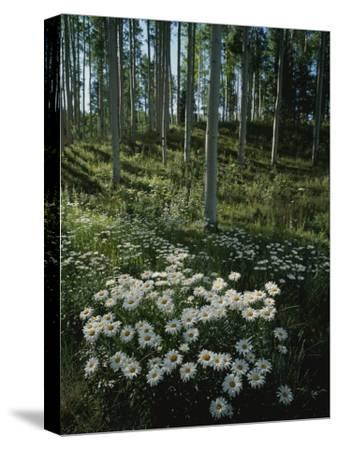 A Cluster of Daisies and Aspen Trees Outside of Telluride, Colorado