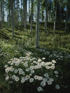 A Cluster of Daisies and Aspen Trees Outside of Telluride, Colorado by Taylor S. Kennedy