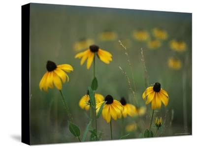 A Field of Black-Eyed Susans and Wild Grasses