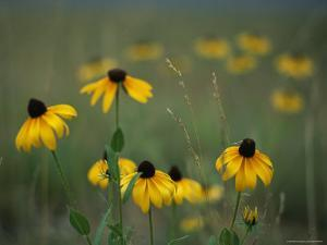 A Field of Black-Eyed Susans and Wild Grasses by Taylor S. Kennedy