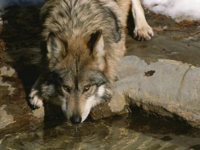 A Gray Wolf Drinks Water from a Pond