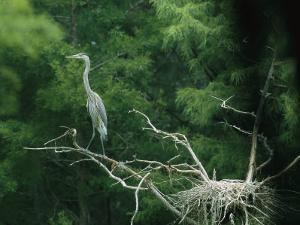 A Great Blue Heron Perches on a Branch Next to Its Nest by Taylor S. Kennedy