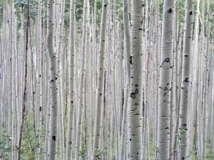 A Grove of Aspen Trees Outside Aspen, Colorado by Taylor S^ Kennedy