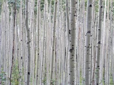 A Grove of Aspen Trees Outside Aspen, Colorado by Taylor S. Kennedy