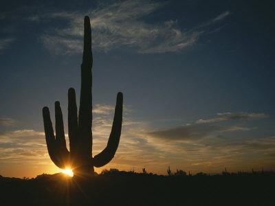 A Saguaro Cactus Silhouetted by the Sunset