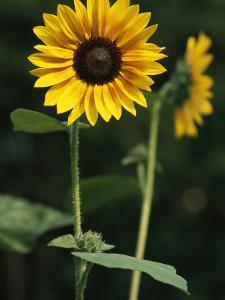A Sunflower on a Sunny Summer Day by Taylor S. Kennedy