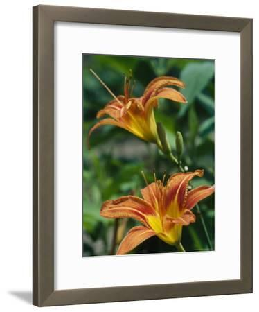 A View of a Tiger Lily