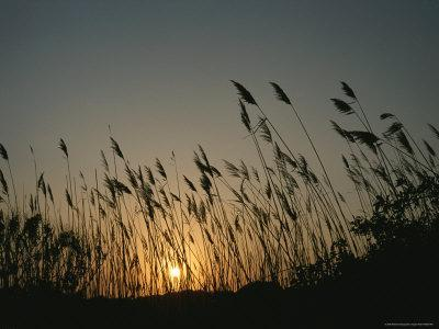 Grasses on a Beach Silhouetted by the Setting Sun